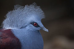 Blue Pigeon (justtakenpictures(with a new macro)) Tags: select bird blue pidgeon nodual gamex2 no3game