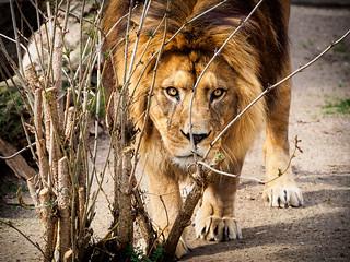 Impressive Look - Lion, Zoo Heidelberg, Germany