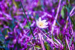 You are not alone... (Don Costello) Tags: macro blossom lake dam gura apelor retezat hunedoara romania nikon d3300 flower nature green lac munti