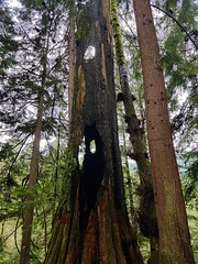 Tree destroyed by lightning (walneylad) Tags: capilanoriverregionalpark northvancouver westvancouver britishcolumbia canada capilanoriver river canyon park parkland urbanpark forest rainforest urbanforest woods woodland trail trees ferns moss green brown greysky spring april view nature scenery
