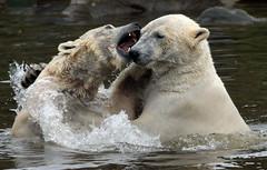 polarbear Ouwehands BB2A3254 (j.a.kok) Tags: polarbear beer bear polarbaer ijsbeer arctic predator mammal zoogdier ursusmaritimus pool noordpool ouwehands ouwehandsdierenpark ouwehand ouwehandszoo
