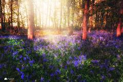 Feeling blue... (Kerriemeister) Tags: hagg wood bluebells bluebell flowers carpet sunrays trees spring dunnington york magical nature