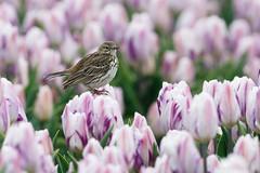 _AAG7968 (De Hollena) Tags: anthuspratensis bisbitapratense callantsoog graspieper meadowpipit pipitfarlouse tulip tulipa tulp tulpe wiesenpieper