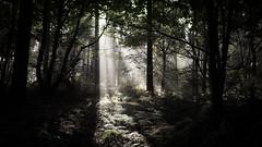 Ray of light (Matthew Johnson1) Tags: northamptonshire harlestone woods ray light illuminated dramatic shard canopy
