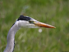 Grey Heron (Corine Bliek) Tags: ardeacinerea ardeidae vogel vogels watervogels waterbirds nature wildlife natuur birding bird birds wader