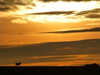 Lone Sheep Sunrise..x