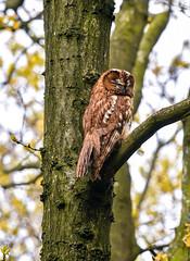 Tawny in the daytime (ukmjk) Tags: male tawny owl north staffordshire stoke day nikon nikkor d500 300mm f4 pf tc14e2 vr