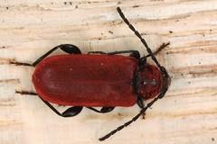 Pyrrhidium sanguineum (chug14) Tags: animalia longicorne arthropoda hexapoda insecta coleoptera cerambycidae callidierouge callidiecouleurdefeu callidiesanguine pyrrhidiumsanguineum