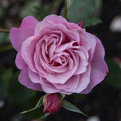 rose 'my girl' (Virginia McMillan) Tags: flowers gardens wellington botanic