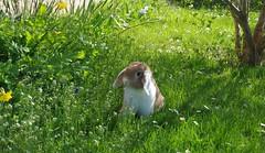Bambam, 28/03/2017 (jlfaurie) Tags: bambam bunny lapin animaldecompagnie pet conejo déborah lesmesnuls casa home garden jardin spring printemps primavera