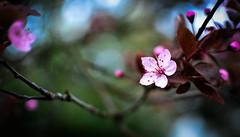 Blossoms 2 (Explored) (nicolechamilton) Tags: blossom cherryblossom cherry flower pink bokeh victoria britishcolumbia bc nikon