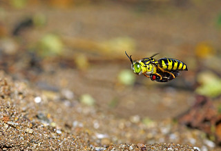 Sand Wasp with Bottlefly
