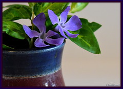 Macro Mondays - Glaze (Pottery) (zendt66) Tags: zendt66 zendt nikon d7200 nikkor 105mm glaze macromondays macro monday mondays purple flower ceramic pot pottery