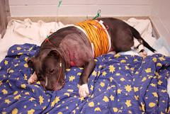 (John Donges) Tags: blue hero dog pet shot injured veterinary hospital patient veterinarians care icu 7250