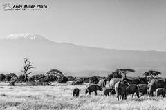 20160217-08-41-31_B017550 BW 2000px (ajm057) Tags: 8takenusing africa africanelephantloxodontaafricana africanbushelephantloxodontaafricana amboselinationalpark andymillerphotolondonuk blackwhitephotography elephantidaeelephants kenya loxodonta mammal nikond810 proboscideaelephants reservesparks wildlifephotography african elephant