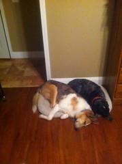cuddlepups (jak.conrad) Tags: lucy twizzler dog dogs rainbowbridge heartbroken rescue pups dogislove mutt