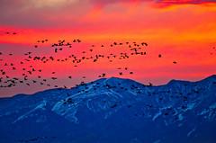 Sunrise at the Crane Festival ((Nicole)) Tags: sunrise sandhillcranes birds colorful happy nature rockymountains colorado nikon snow dawn early alamosa montevista valley cranes red yellow silhouette