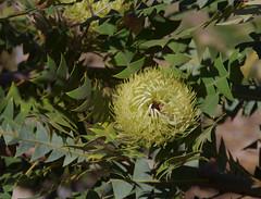 Banksia baxteri, Kings Park, Perth, WA, 10/01/17 (Russell Cumming) Tags: plant banksia banksiabaxteri proteaceae kingspark perth westernaustralia