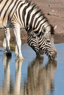 Burchell's Zebra's reflections at an Etosha waterhole, Namibia.
