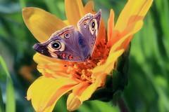 Buckeyes and mule's ears (TJ Gehling) Tags: insect lepidoptera butterfly nymphalidae buckeye commonbuckeye junonia junoniacoenia plant flower asterales asteraceae mulesears narrowleafedmulesears wyethia wyethiaangustifolia hillsidenaturalarea elcerrito