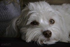 lap dog (zawaski) Tags: beauty canada alberta ambientlight naturallight noflash canmore calgary rockymountains zawaski©2017 love canonefs18200mmf3556is