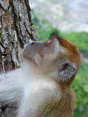 Bukittinggi - Up the Tree (Drriss & Marrionn) Tags: travel bukittinggi outdoor sumatra indonesia asia southeastasia sianokcanyon kotogadangvalley animal animals macacafascicularis crabeatingmacaque longtailedmacaque monkey monkeys mammal ape cercopithecidae cynomolgusmonkey brown makaku macaca omnivore taxonomy:binomial=macacafascicularis taxonomy:genus=macaca taxonomy:species=fascicularis taxonomy:subtribe=macacina taxonomy:tribe=papionini taxonomy:subfamily=cercopithecinae taxonomy:family=cercopithecidae taxonomy:superfamily=cercopithecoidea taxonomy:infraorder=haplorhini taxonomy:suborder=euprimates taxonomy:order=primates taxonomy:magnorder=boreoeutheria taxonomy:cohort=placentalia taxonomy:infraclass=eutheria taxonomy:class=mammalia macaque primates