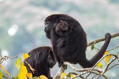 Mono Aullador - Alouatta pigra (Jorge De Silva R) Tags: reserva de la biosfera montes azules nature wildlife chiapasmexico legado verde alouatta pigra mono aullador monkey