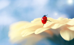 ✨dancing on the petal✨ (ElenAndreeva) Tags: sky flowers beauty spring color blue sun light summer bokeh cute colors insect canon garden top wow close up colorful composition fantasy focus bug best amazing nature macro flower magic ledybug