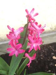20170402_Terrasse_005 (weisserstier) Tags: blume flower frühling wien vienna pflanze plant tulpe hyazinthe