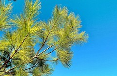 Reaching High (Haytham M.) Tags: branch needles green sky evergreen pine