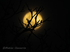 Moon between branches / Luna entre ramas (Explored) (chavarriamatias) Tags: moon luna night darkness dark cielo ramas bookeh bokeh noche branches nature sky black nikon