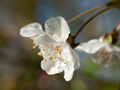Bloesem (Geziena) Tags: bloeien druppels dauwdruppels drops wit bloem voorjaar spring natuur lumix lx100