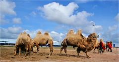 Camels (Hindrik S) Tags: camel kameel kamiel kamel bukt sky bluesky loft lucht luft circus sirkus animal beest bist dier fauna clouds cloud wolken wolk sonyphotographing sony sonyalpha a57 α57 slta57 tamron tamronaf16300mmf3563dillvcpzdmacrob016 16300 2017 circusrenz berlin