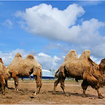 Camels thumbnail