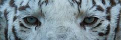 Face à face | Face to face (jordanc_pictures) Tags: zoo zoodamnéville animal animals tiger tigre tigreblanc whitetiger