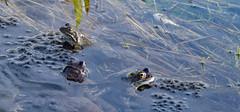 Frog spawning. (TAHARFR) Tags: grenouille mare fraie spawning frog