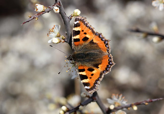 Small Tortoiseshell For Wing Wednesday! [Explored!]
