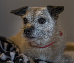 Hester (Dave Sexton) Tags: dogs terrier jack russel border cross breed pentax k1 dxoopticspro on1 affinityphoto