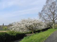 Apple Blossom Tree, Kelvingrove Park, Glasgow, April 2017 (allanmaciver) Tags: blossom tree kelvingrove park glasgow city large open space green trees walk enjoy wander pictures morning allanmaciver