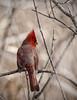 Spring Cardinal (Knarr Gallery) Tags: bird birding northerncardinal spring canada nature regionofwaterloo cambridge ontario nikon d300 tamronsp150600mmf563divcusd knarrgallery darylknarr knarrphotography