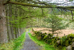 tunelled path (Rob McC) Tags: forest wood trees pine path road direction wall moss perspective tunnel natural landscape dumfriesandgalloway walk trek