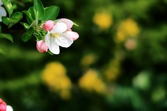 Apple blossom (No_Mosquito) Tags: apple tree blossom bokeh nature spring colours canon powershot g7x mark ii crabapple