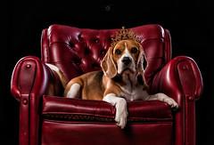 Suri (Sergio Nevado) Tags: suri perro dog beagle mascota pet animal estudio studio sofa corona crown