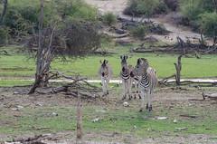 Steppenzebras / Plains Zebras (brainstorm1984) Tags: burchellszebras plainszebra makgadikgadi equusquagga desertdeltasafaris safari makgadikgadipansnationalpark botetiriver pferdezebras commonzebra zebra wildlife commonzebras steppenzebras steppenzebra zebras leroolatau plainszebras botswana makgadikgadipansgamereserve boteti pferdezebra burchellszebra centraldistrict botsuana bw