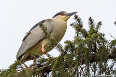 Kiwanis Lake Black Crowned Night Heron (freshairphoto) Tags: black crowned night heron wading bird perched tree pine kiwanis lake rookery york pennsylvania wildlife artspearing nikon 200500 zoom tripod