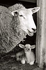 Sheep (ilovecoffeeyesido) Tags: lamb sheep barnyard zoo cosleyzoo wheatonil blackandwhite nature