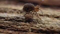 Ptenothrix sp.3 Grooming with Vesicle (Bugldy99) Tags: collembola springtail nature outdoors hexapod hexapoda arthropoda symphypleona arthropod animal