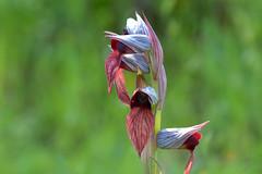 Serapias cordigera. (Victoria.....a secas.) Tags: orquídea orchid orquídeasilvestre serapiascordigera