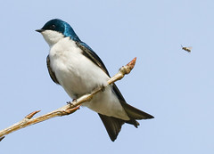 Tree Swallow about to recieve a stinging surprise!! (MTEBG99) Tags: swallow swallows bird birds bee bees insects flight