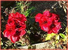 La fleur que tu m'avais jetée (Kay Harpa) Tags: lundidepâques transition entredeux kayharpa france thebiggestgroup flowers rouge